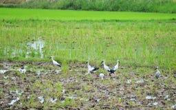 Pájaros de Bill Ibis Fotografía de archivo libre de regalías