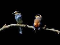 Pájaros de Broadbill de la plata-breasted Fotos de archivo