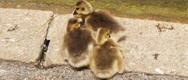 Pájaros de Brown Foto de archivo