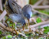 Pájaros de Brown en lagunas Foto de archivo libre de regalías