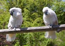 Pájaros de Coctatoo Imágenes de archivo libres de regalías