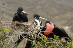 Pájaros de fragata Fotos de archivo