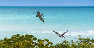 Pájaros de fragata Fotografía de archivo libre de regalías