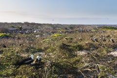 Pájaros de fragata en los arbustos Imágenes de archivo libres de regalías