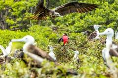 Pájaros de fragatas con el varón en el centro imagenes de archivo