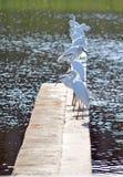 Pájaros de Ibis Fotografía de archivo