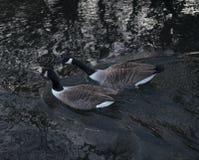 Pájaros de la charca del parque de las tarjetas del día de San Valentín Fotografía de archivo