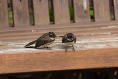 Pájaros de la cola de milano Fotografía de archivo