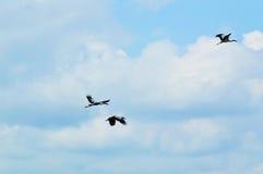 Pájaros de la cuenta del vuelo del cielo Imágenes de archivo libres de regalías