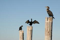 Pájaros de la Florida en los postes Foto de archivo libre de regalías