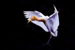 Pájaros de la garceta de ganado Imágenes de archivo libres de regalías