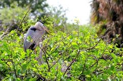 Pájaros de la garza de gran azul (adulto y bebé) en jerarquía Foto de archivo
