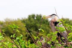Pájaros de la garza de gran azul (adulto y polluelo) en jerarquía Foto de archivo
