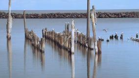 Pájaros de la gaviota en el mar almacen de video