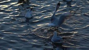 Pájaros de la gaviota que vuelan sobre la cámara lenta del mar del agua superficial almacen de metraje de vídeo
