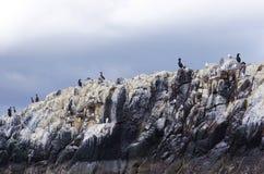 Pájaros de la jerarquización encima de un acantilado de las islas de Farne, Northumberland, Inglaterra imágenes de archivo libres de regalías