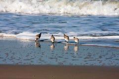 Pájaros de la lavandera en la caza foto de archivo