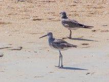 Pájaros de la lavandera y de la gaviota en la playa del océano Imagenes de archivo