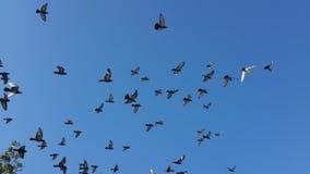 Pájaros de la mosca Foto de archivo libre de regalías