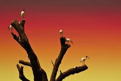 Pájaros de la puesta del sol de Ibis roosting Foto de archivo libre de regalías