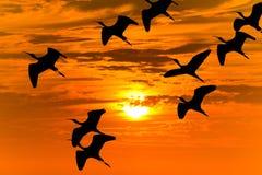 Pájaros de la puesta del sol que vuelan siluetas Imagen de archivo