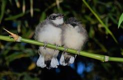 Pájaros de la urraca Imagen de archivo libre de regalías