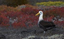 Pájaros 13 de las Islas Galápagos Foto de archivo