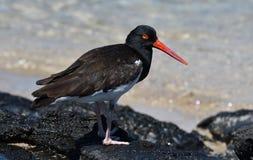 Pájaros 28 de las Islas Galápagos imagen de archivo libre de regalías