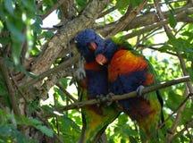 Pájaros de Lorikeet Fotografía de archivo libre de regalías