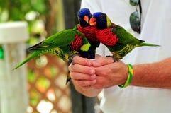 Pájaros de Lorikeet, la Florida Fotografía de archivo libre de regalías