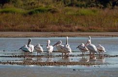 Pájaros de los humedales del cuchillero Bay fotografía de archivo