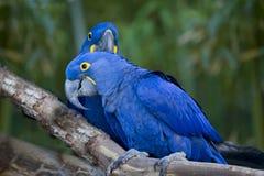 Pájaros de los Macaws. Fotografía de archivo