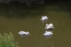 Pájaros de los pelícanos blancos del grupo Fotos de archivo