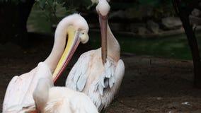 Pájaros de los pelícanos en parque zoológico almacen de metraje de vídeo