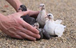 Pájaros de los polluelos de la paloma en la arena Imagen de archivo libre de regalías