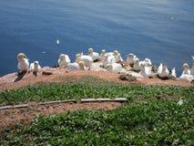 Pájaros de mar de la cría en la isla Fotos de archivo