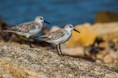 Pájaros de mar del Dunlin en la arena Imágenes de archivo libres de regalías