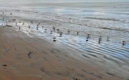 Pájaros de mar en la playa que busca gusanos Foto de archivo libre de regalías
