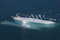 Pájaros de mar en masa de hielo flotante de hielo