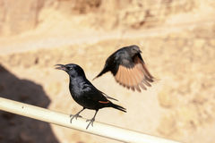 Pájaros de Massada Imagen de archivo