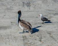 Pájaros de orilla mexicanos foto de archivo