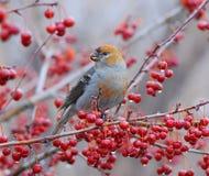 Pájaros de pino Imagen de archivo