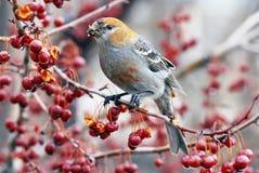 Pájaros de pino Imágenes de archivo libres de regalías
