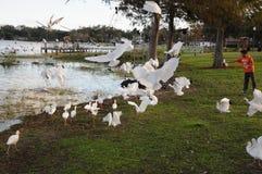 Pájaros de Sanderpipers en el lago en el pueblo de Ocoee foto de archivo
