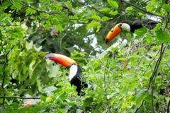 Pájaros de Tucan en el árbol verde Imagen de archivo libre de regalías