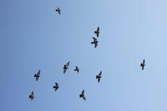 Pájaros de vuelo Fotos de archivo libres de regalías