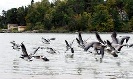 Pájaros de vuelo Imágenes de archivo libres de regalías