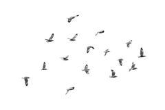 Pájaros de vuelo, aislados en el fondo blanco Foto de archivo libre de regalías