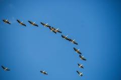 Pájaros de vuelo en el cielo azul fotografía de archivo