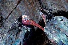 Pájaros de Waldrapp Ibis Imágenes de archivo libres de regalías